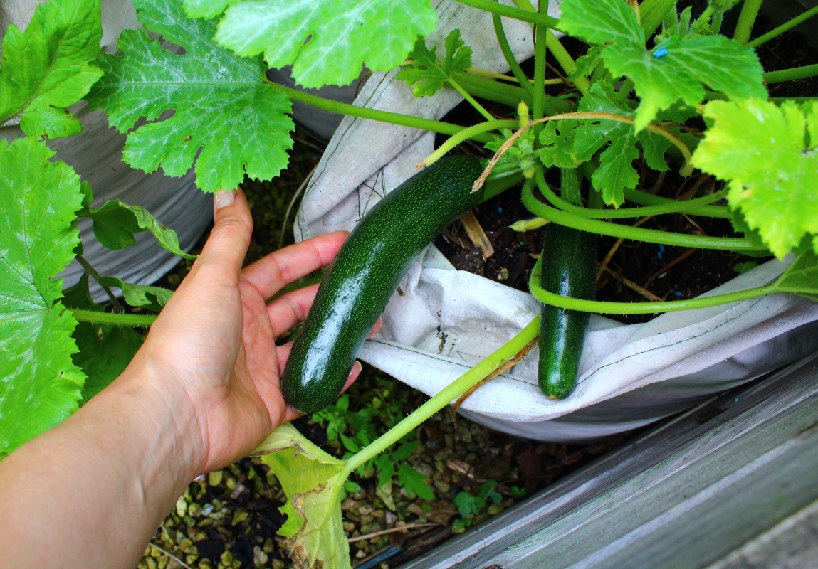 Courgettes on the mini allotment