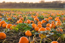 Pumpkin Harvest - product images  of