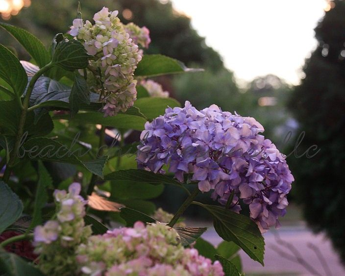 Hydrangea Garden - product images