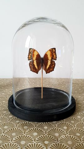 Cloche,papillon,2,Laetitia Rousseau Taxidermie, taxidermie, cloche en verre, globe en verre,morpho