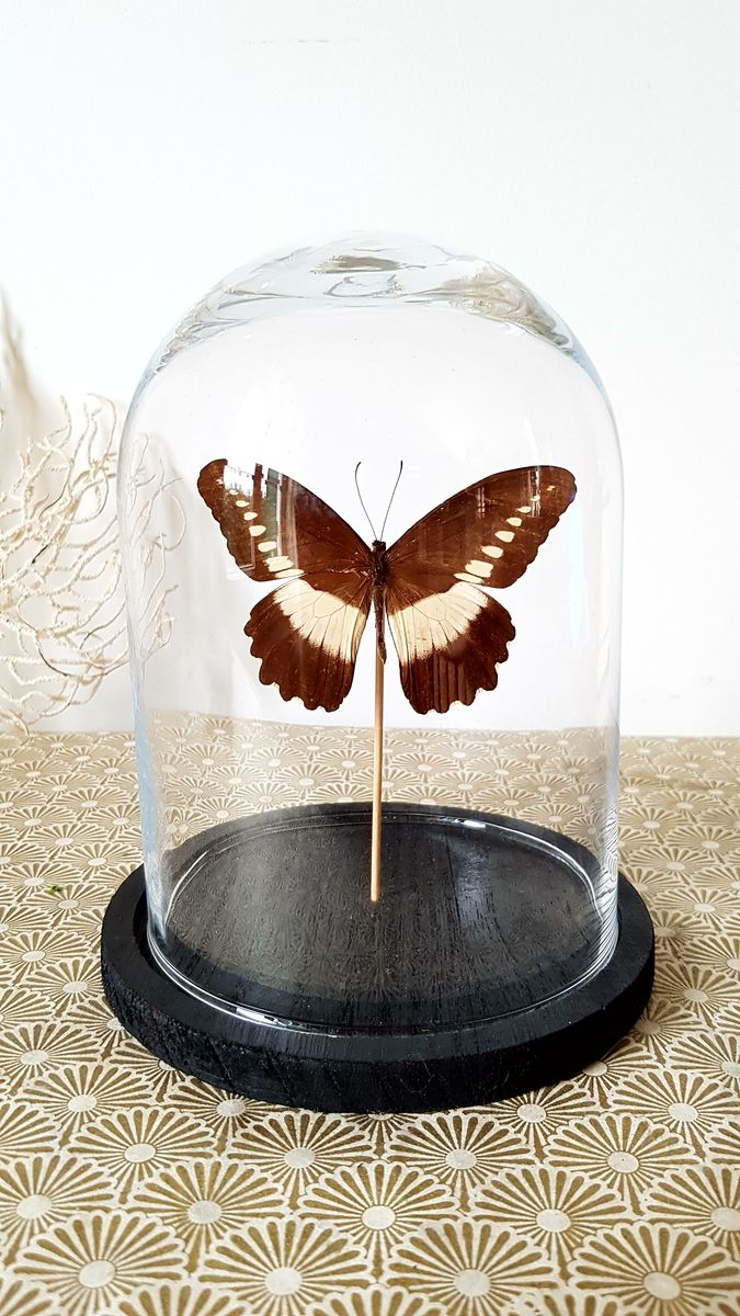 Cloche papillon Papilio zenobia  - product images  of