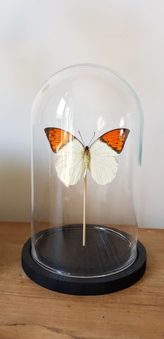 Cloche,papillon,Laetitia Rousseau Taxidermie, taxidermie, cloche en verre, globe en verre,morpho