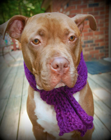 Purple,Dog,Scarf,for,Medium,or,Large,Dogs,Hand,Knit,Pets,Clothing,Warm,dog_scarf,winter_scarf,purple_scarf,hand_knitted,hand_knit,dog_scarves,dog_bandanna,dog_scarfs,medium_breed,large_breed,ribbed_scarf,dog_clothing,dog_accessories,arylic_yarn