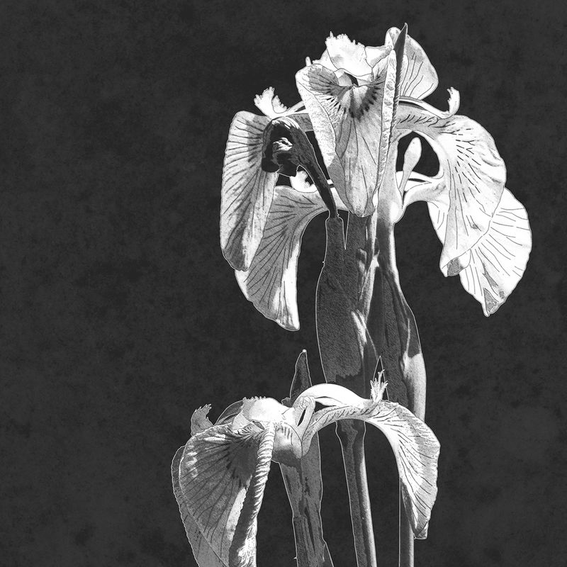 Set of 2 Botanical Art Prints - Iris Floral Prints - Minimalist Prints - Black and White Art - product images  of