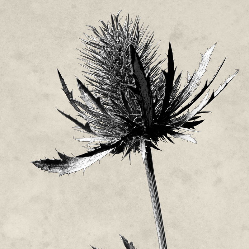 Botanical Prints - Set of 2 Wall Art Prints - Thistle Prints - Minimalist Prints - Black and White Art - product images  of