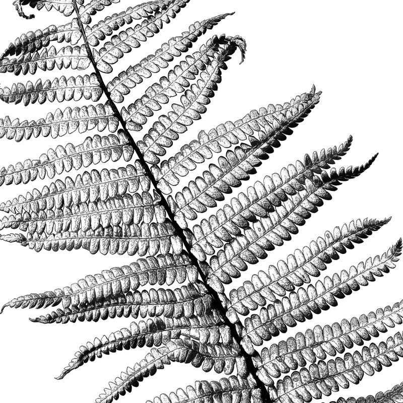 Fern Leaf Art Print - Wall Art Print - Botanical Print – Large Wall Art  - product images  of