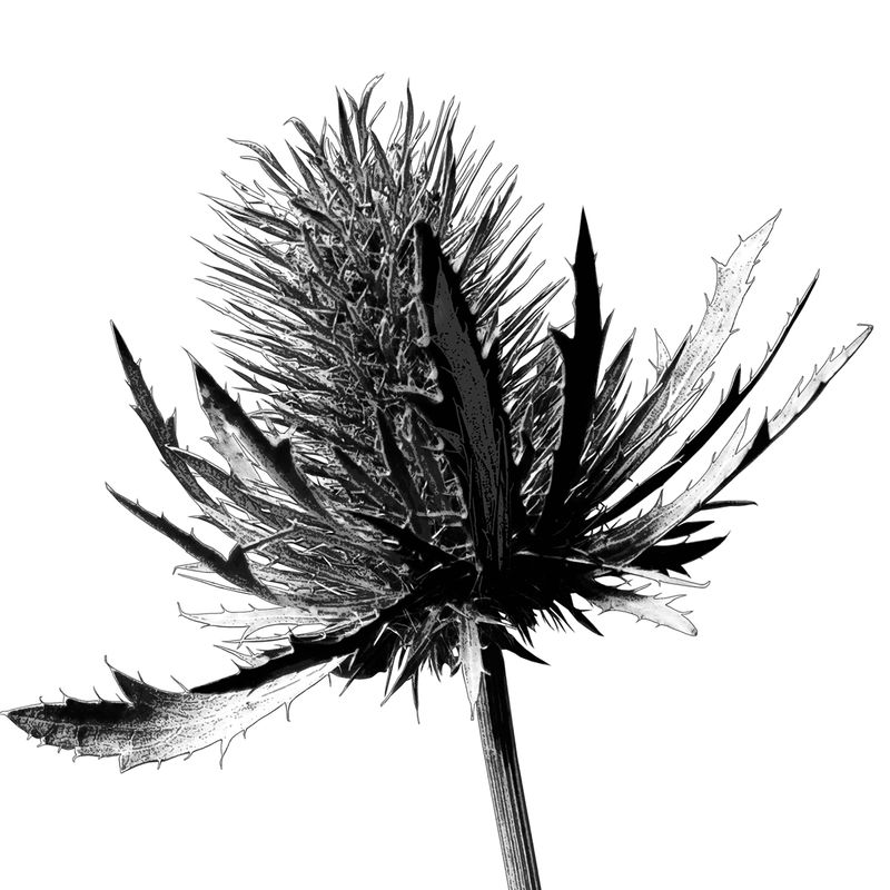 Botanical Art Print - Minimalist Print - Thistle Print - Large Wall art - product images  of