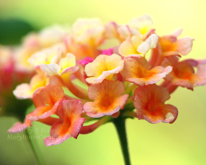 Lantana Flower Photograph, Yellow, Orange, Pink, Lime Green - product image