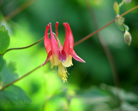 Wild,Columbine,Flower,Photograph,,Red,,Yellow,,Green,Art, Photography, Nature, macro, wildflower, red, yellow, green, wild columbine, wild flower, woodland, home decor, flower photography, floral photography, garden flower
