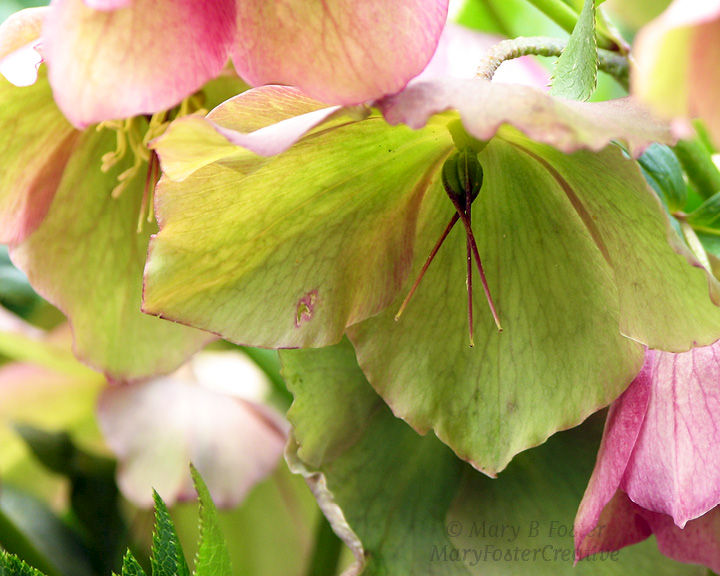 Pastel Green Pink Spring Flowers Photography, Lenten Rose Hellebore - product image