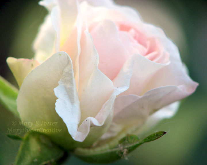 Pale Pink Flower Photography, Morden Blush Rose - product image