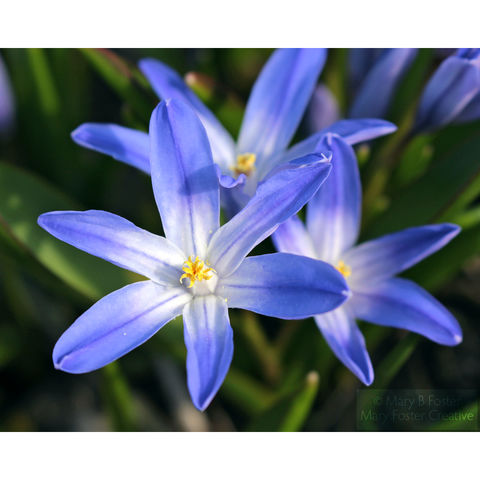 Blue,Spring,Flowers,Photograph,,Chionodoxa,forbesii,'Glory,of,the,Snow',blue flower photography; spring flowers photograph, Chionodoxa forbesii Glory of the Snow, floral photography; garden flower photograph; blue floral art; botanical art; nature photography; fine art photo; Mary Foster Creative