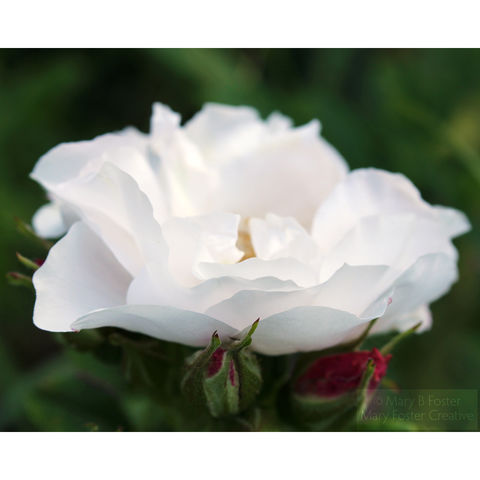 White,Rose,Photograph,,Rosa,rugosa,'Henry,Hudson',white rose photograph, Rosa rugosa Henry Hudson rose, white flower photography; floral photography; garden flower photograph; white rose floral art; botanical art; nature photography; fine art photo; Mary Foster Creative