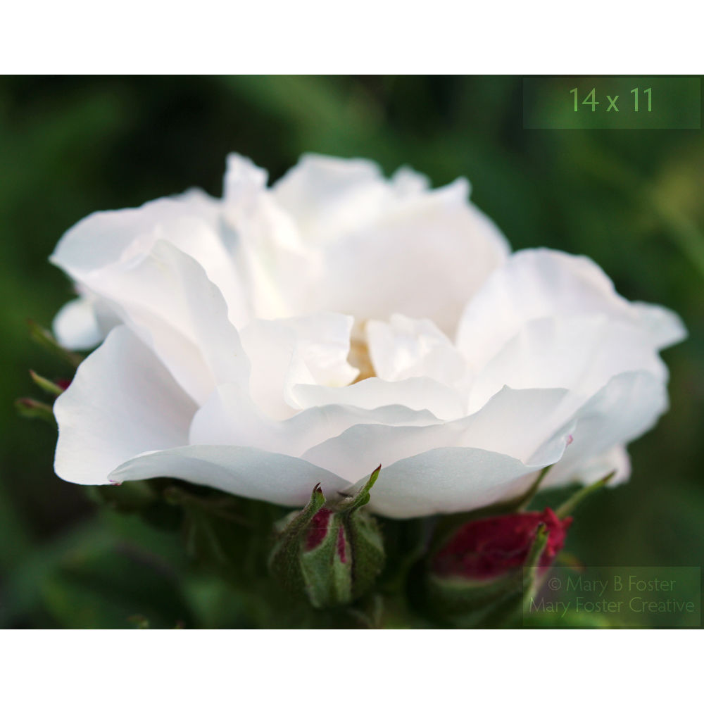 White Rose Photograph, Rosa rugosa 'Henry Hudson' - product images  of