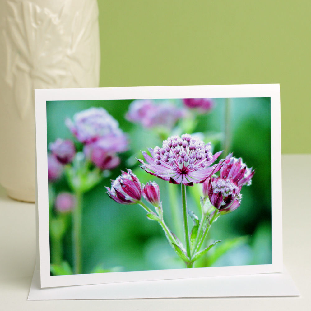 Purple flowers with dewdrops photo note card, Astrantia 'Ruby Wedding' Masterwort - product images  of