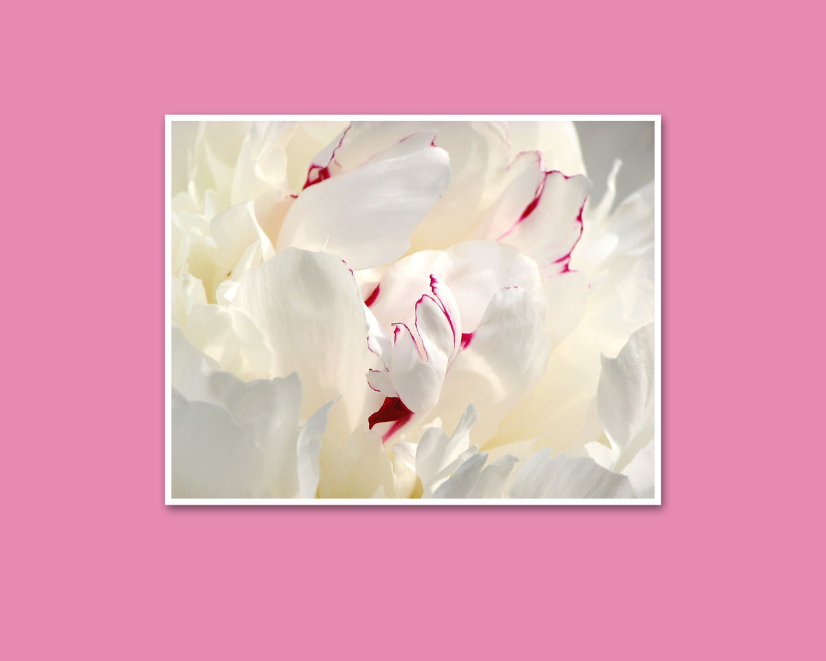 White Peony Paeonia Festiva Maxima, Abstract Flower Photography - product images  of