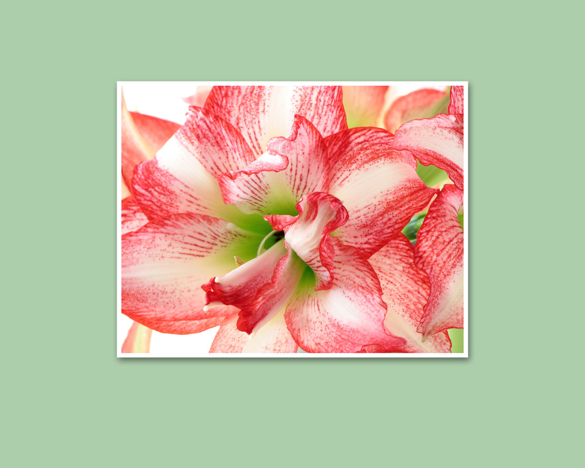 Flower Photography, Red and White 'Double Record' Amaryllis - product images  of