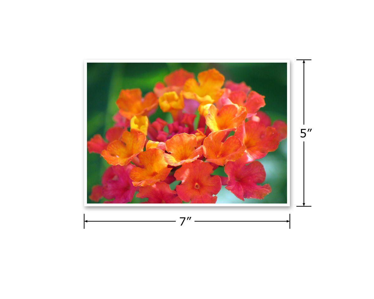 Bright Red Orange, Hot Pink Flower Photograph, Desert Sunset Lantana - product images  of