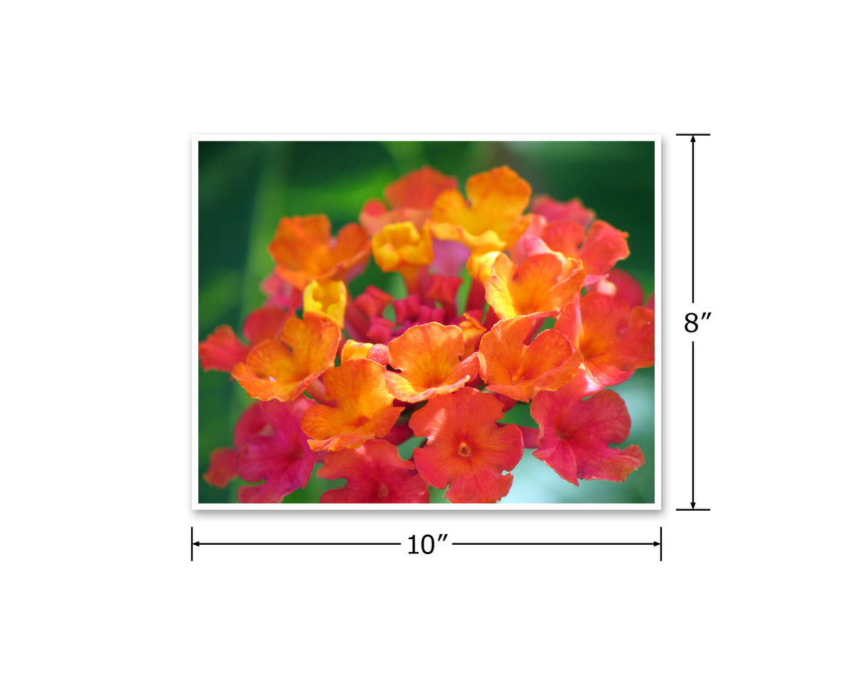 Bright Red Orange, Hot Pink Flower Photograph, 'Desert Sunset' Lantana - product images  of