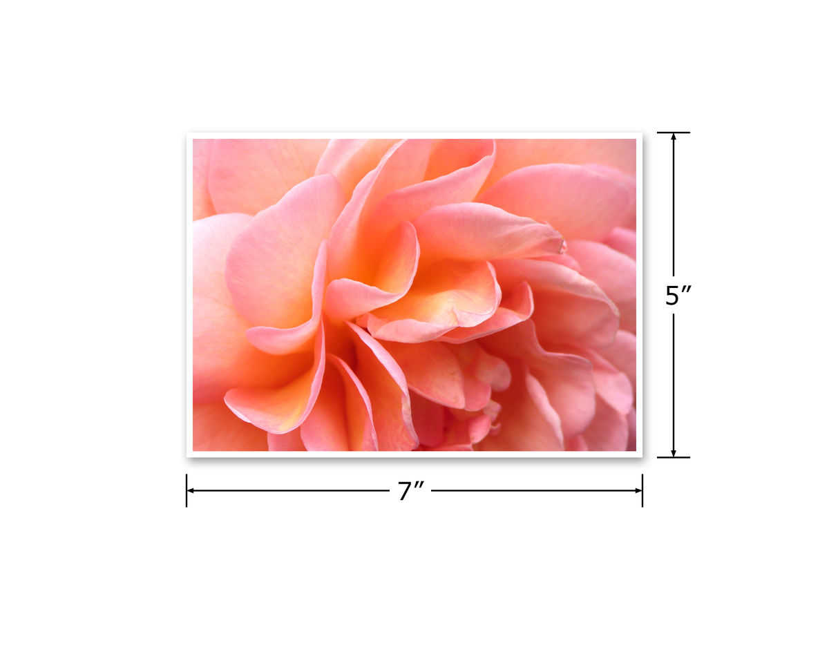 'Abraham Darby' Rose Petals Flower Photography, Peach Pink Apricot Orange - product images  of