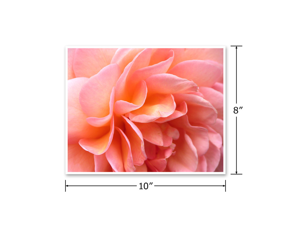 Abraham Darby Rose Petals Flower Photography, Peach Pink Apricot Orange - product images  of