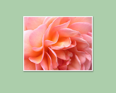 Abraham,Darby,Rose,Petals,Flower,Photography,,Peach,Pink,Apricot,Orange,Art, Photography, Nature, macro, pink, peach, apricot, abstract, rose petals, orange, floral wall art, flower photography, Abraham Darby English rose