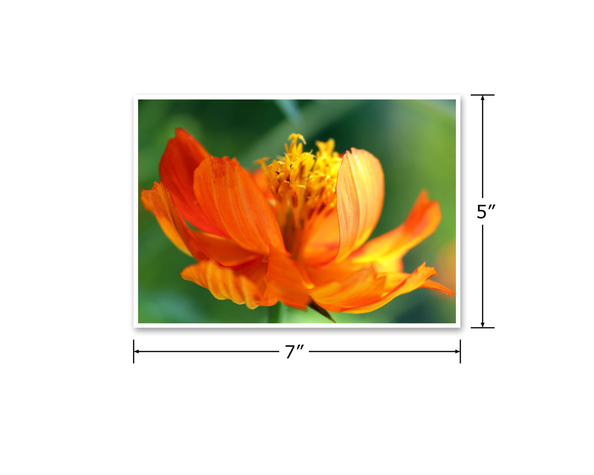 Orange Flower Photograph, Cosmos sulphureus 'Sunrise' - product images  of