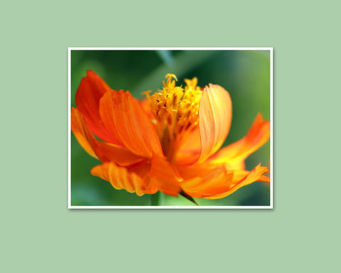 Orange,Flower,Photograph,,Cosmos,sulphureus,'Sunrise',orange Cosmos flower photograph, Cosmos sulphureus Sunrise, floral photography; garden flower photo; floral botanical art; nature photography; Mary Foster Creative
