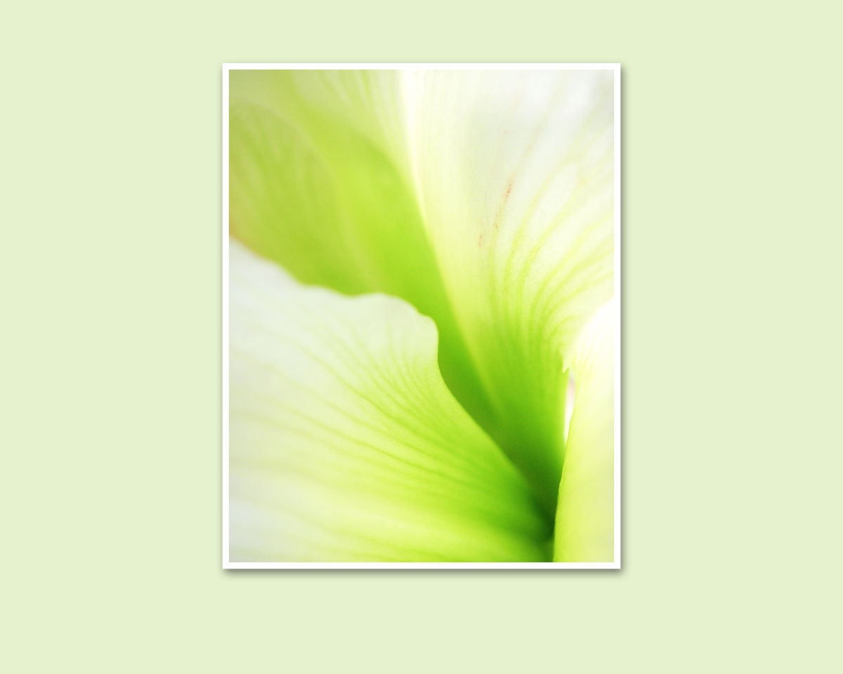 Abstract Green Flower Photography, 'Snow White' Amaryllis Petals - product images  of