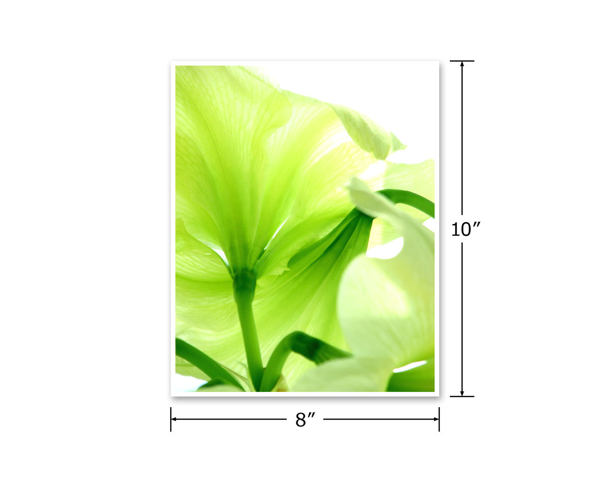 Green Flower Photography, 'Lemon Lime' Amaryllis - product images  of