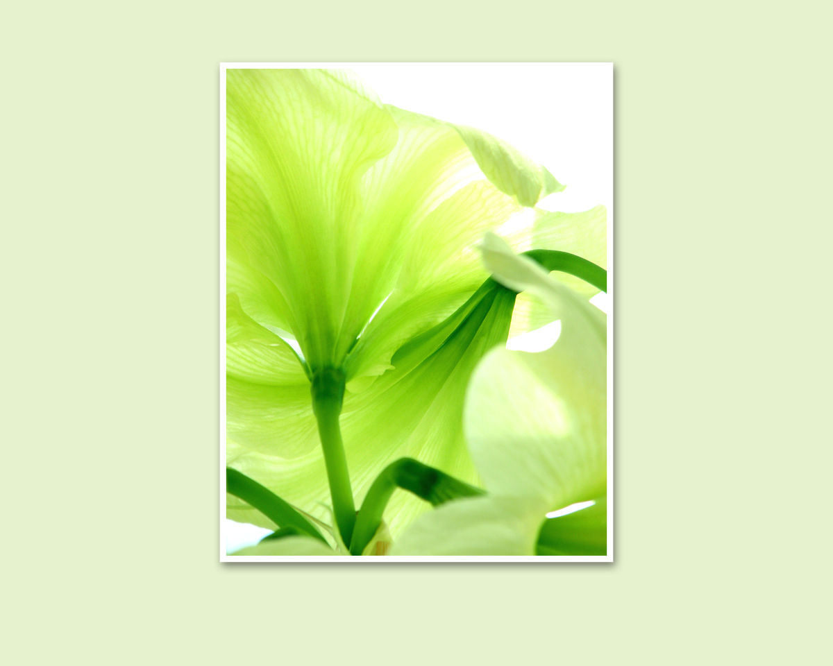 Green Flower Photography, Lemon Lime Amaryllis - product images  of