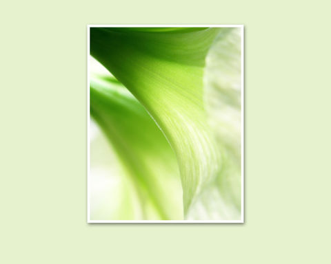 Abstract,Green,Flowers,Photograph,,'Moonlight',Amaryllis,Art, Photography, Nature, abstract, macro, lime green flowers, Moonlight amaryllis, Hippeastrum, wall decor, Mary Foster Creative, fine art floral photography