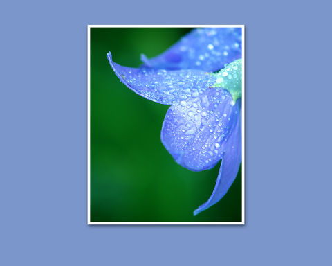 Dewdrops,on,Blue,Flower,Petals,Fine,Art,Photograph,,Green, Photography, Nature, macro, blue flower petals, fine art photograph, dewdrops, flower photograph, floral photography, blue green, garden flower, platycodon, balloon flower, home decor, maryfostercreative