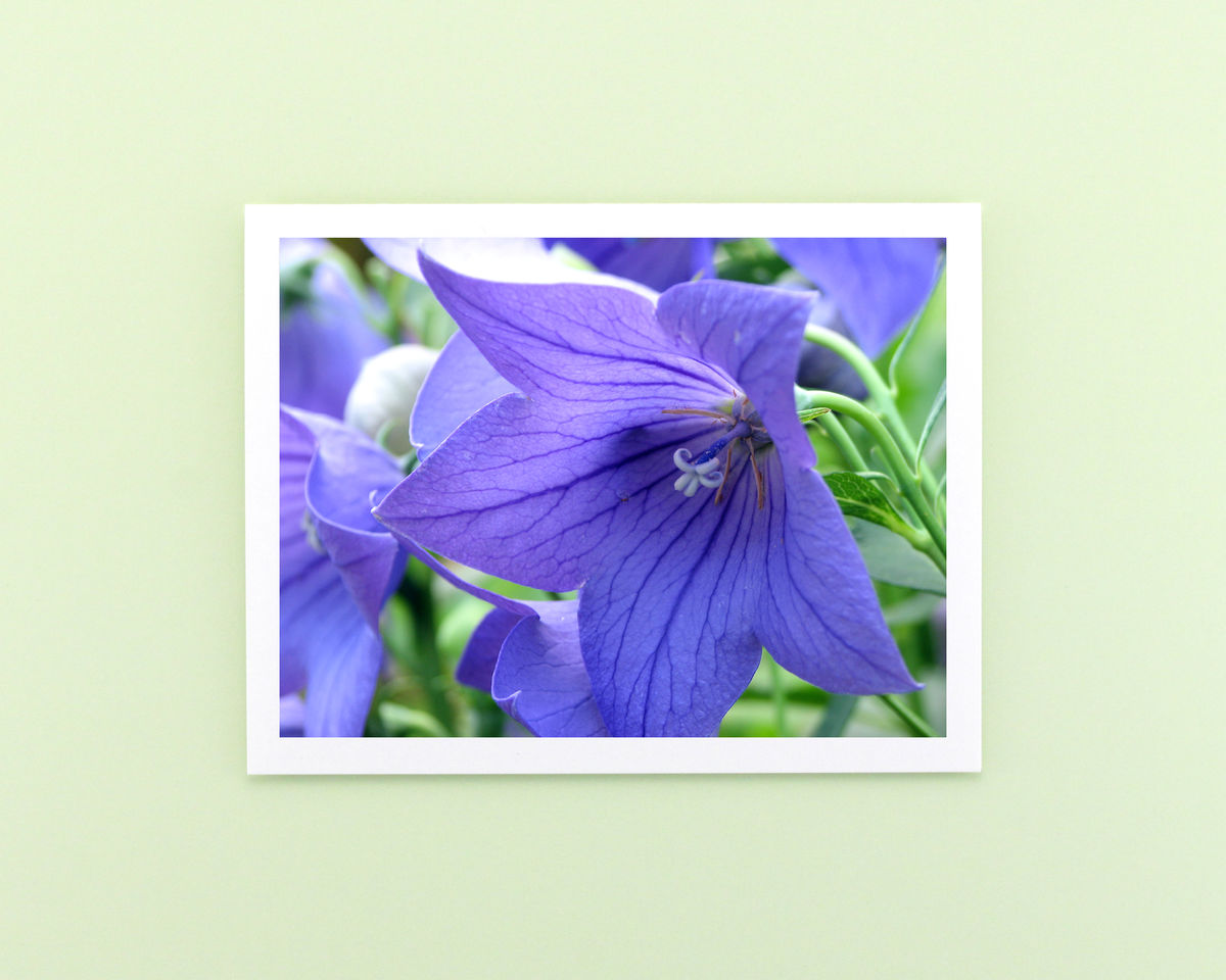 Platycodon 'Sentimental Blue' Balloon Flower Photography Note Card - product images  of