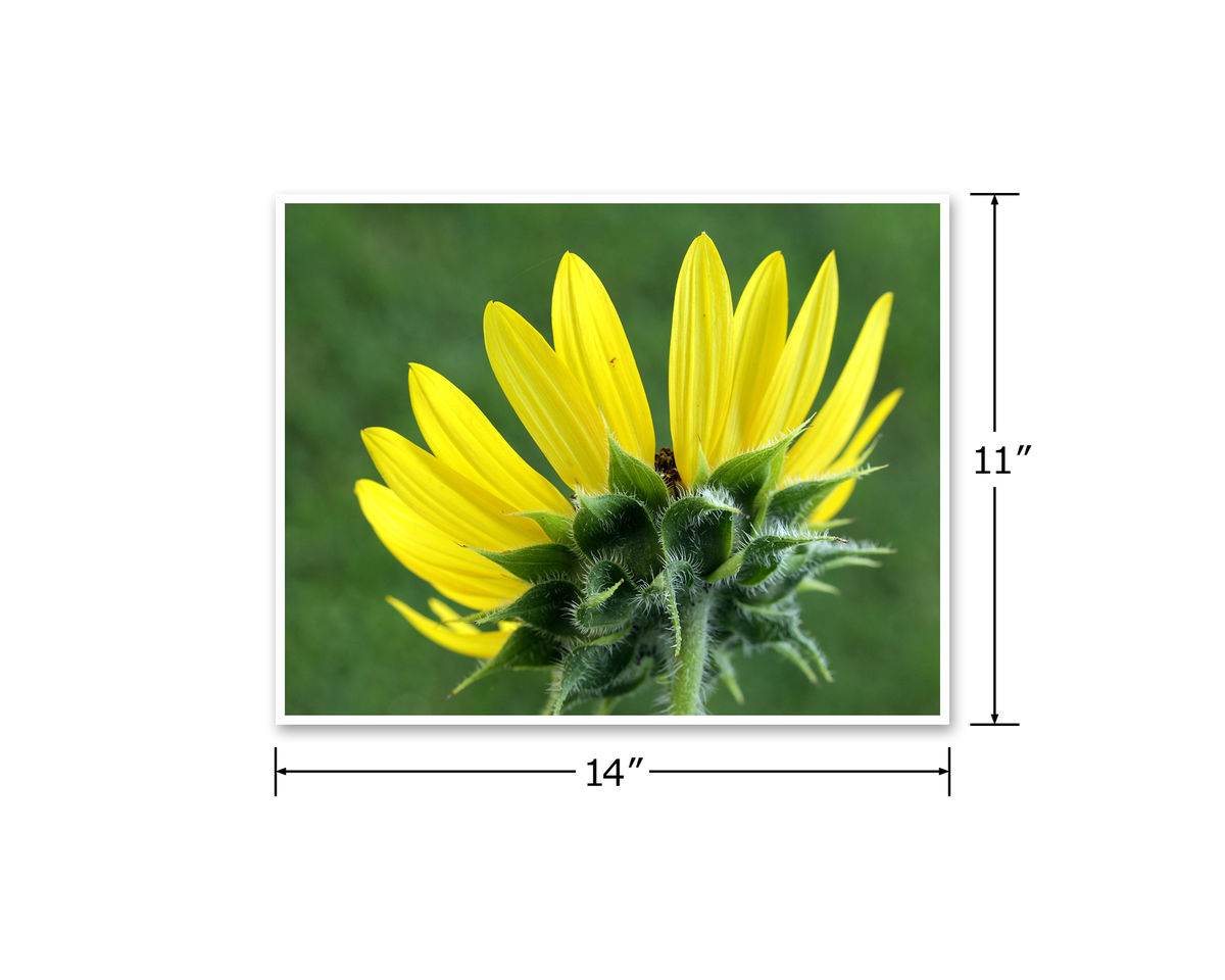 Yellow Sunflower Photograph - product images  of