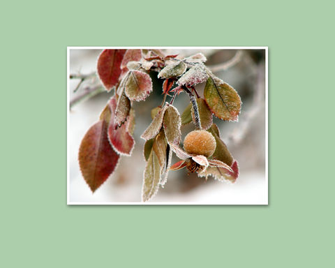Frosted,Rose,Hip,Nature,Photograph,frosted rose hip nature photograph, Mary Foster Creative