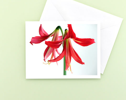 Red,'Ruby,Meyer',Amaryllis,Flower,Photography,Note,Card,Paper Goods, Cards, Photo, Christmas flower note card, red amaryllis flower photograph, holiday greeting card, seasonal stationery, fine art photo card, floral photography, Mary Foster Creative, Hippeastrum Ruby Meyer Amaryllis