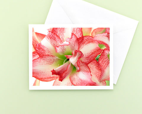 Red,and,White,Striped,'Double,Record',Amaryllis,Flower,Photo,Note,Card,Paper Goods, Cards, Photo, Christmas flower note card, red and white striped amaryllis flower photograph, holiday greeting card, seasonal stationery, fine art photo card, floral photography, Mary Foster Creative, Hippeastrum Double Record Amaryllis