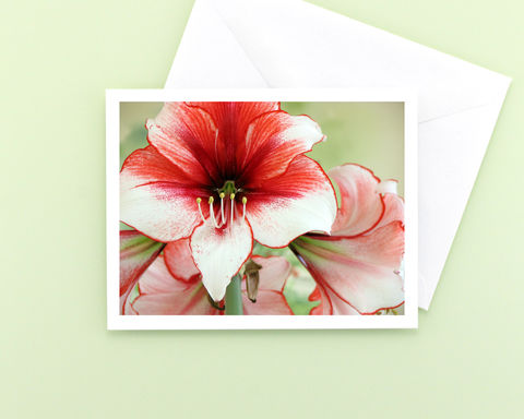 Red,and,White,'Charisma',Amaryllis,Flower,Photo,Note,Card,Paper Goods, Cards, Photo, Christmas flower note card, red and white amaryllis flower photograph, holiday greeting card, seasonal stationery, fine art photo card, floral photography, Mary Foster Creative, Hippeastrum Charisma Amaryllis