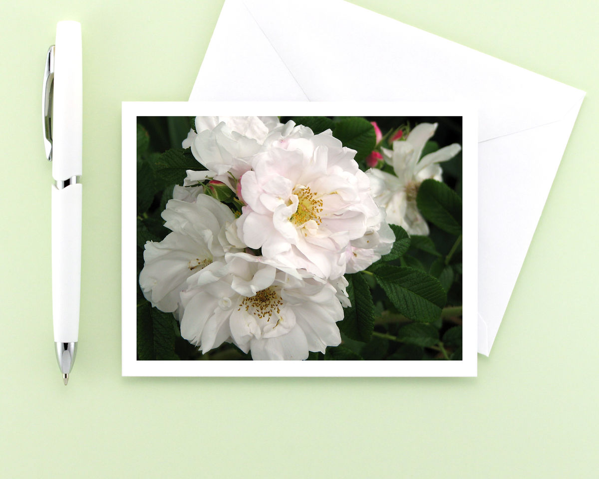 White Roses Flower Photo Note Card, Rosa rugosa 'Henry Hudson' - product images  of