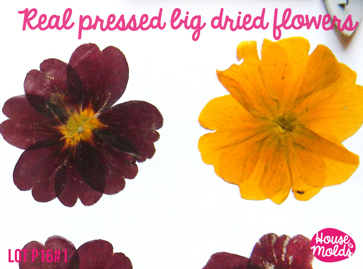 "Real Dryed pressed Flower-set of 6 big size (approx 4 cm=1.6 ""),3 colours burgundry,purple and yellow,ideal for resin inclusions ,scrapbooking,home decoration art projects  - product images  of"