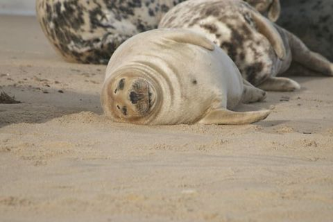 Sleepy,Seal,Sleepy seal, seals, wildlife, Norfolk coast, Norfolk seals, seals print, seal photo print, wood prints, prints on wood