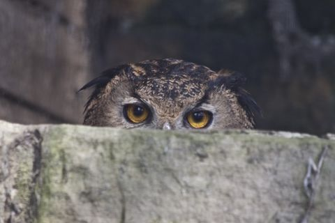 The,Watchful,Owl,owl, eagle owl, owl print, owl photo print, eagle owl print, owl wood print, wood prints, photo wood prints