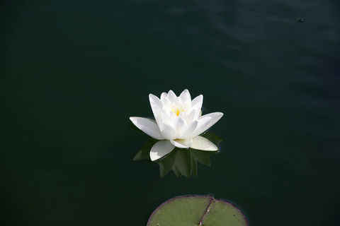 Simple,Water,Lily,White water lily, water lily print, lily print, pond print, white lily, white flower, floating flower print