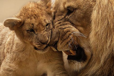 I,Love,My,Dad,Lions,(wilda16),I Love My Dad Lions