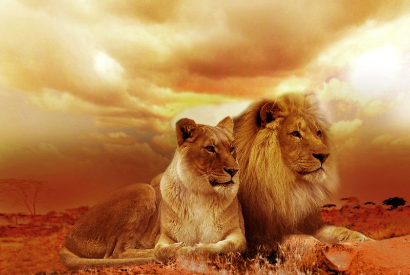 Dramatic Lions (wilda15) - product images