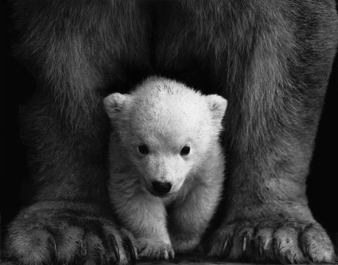 Protected,Polar,Bear,(wilda7),Protected   Polar Bear