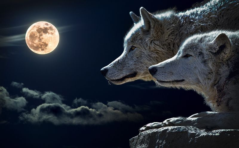 Wolf looking at the moon (wilda14) - product images