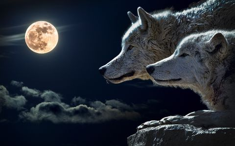 Wolf,looking,at,the,moon,(wilda14),Wolf looking at the moon