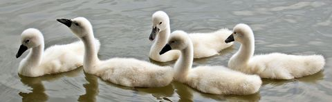 Swaning,Around,(wilda6),Swaning Around